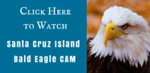 Santa Cruz IslandLive Eagle Cam