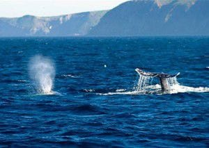 Gray whale spouting at the ocean's surface with a strong whale tale emerging from the water
