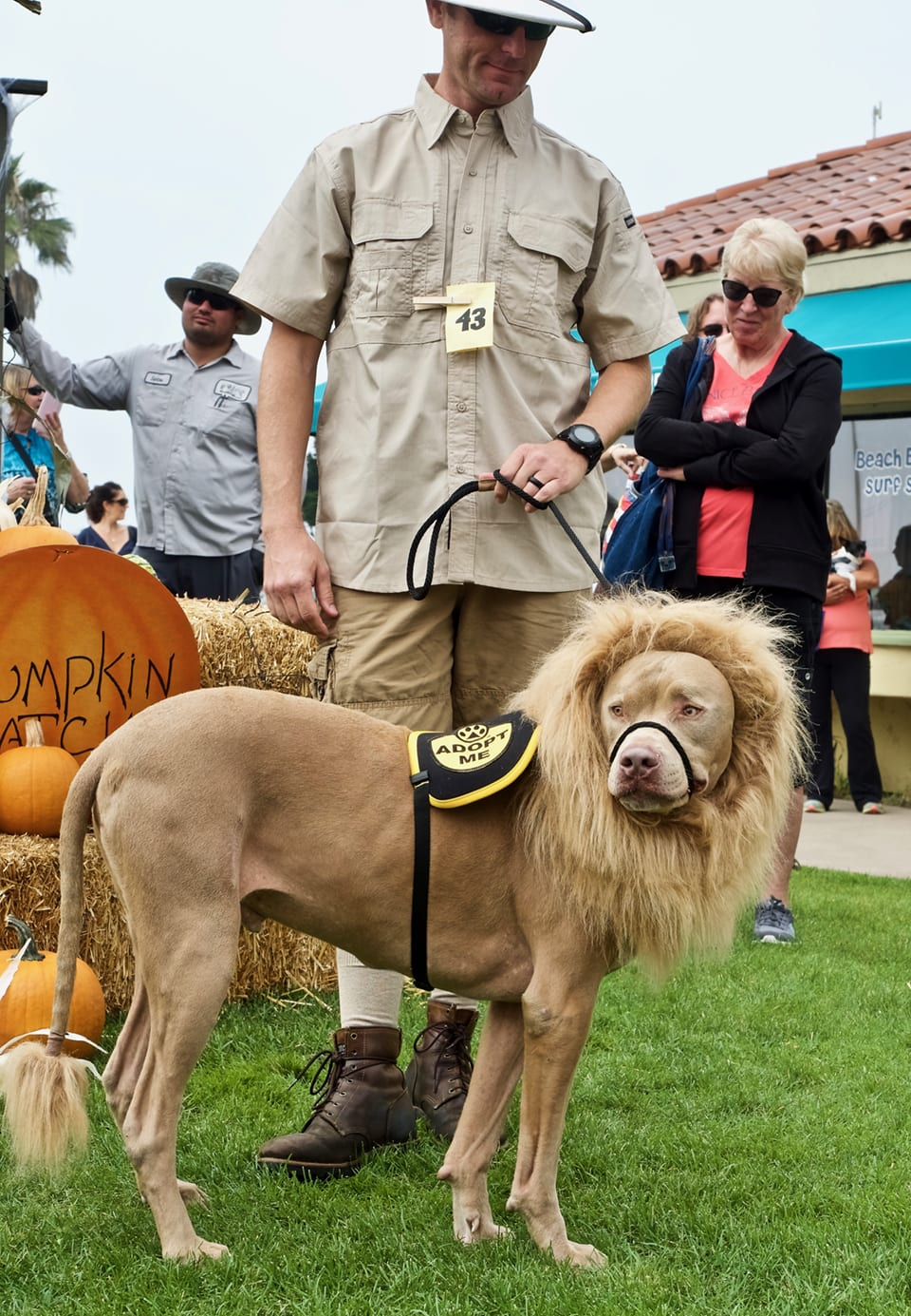 a dog in a dog costume contest dressed as a lion, with a big furry main