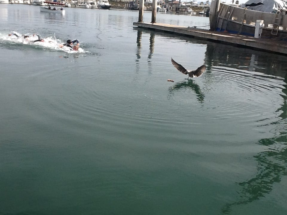 A group of swimmers going to retrieve a small wooden cross in the Harbor as a seagull lands near to catch the action