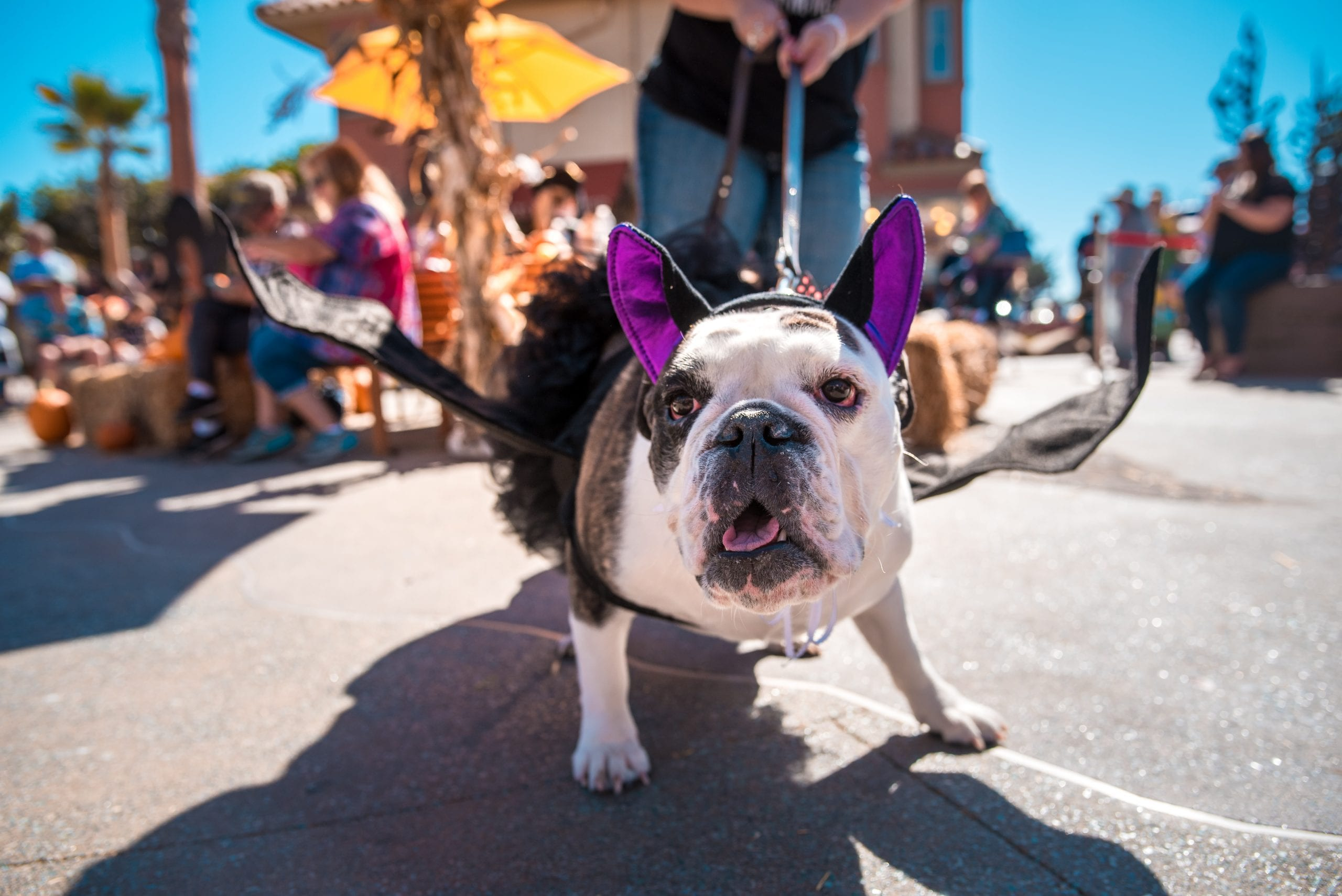 a dog dressed as a Halloween bat in ventura harbor village