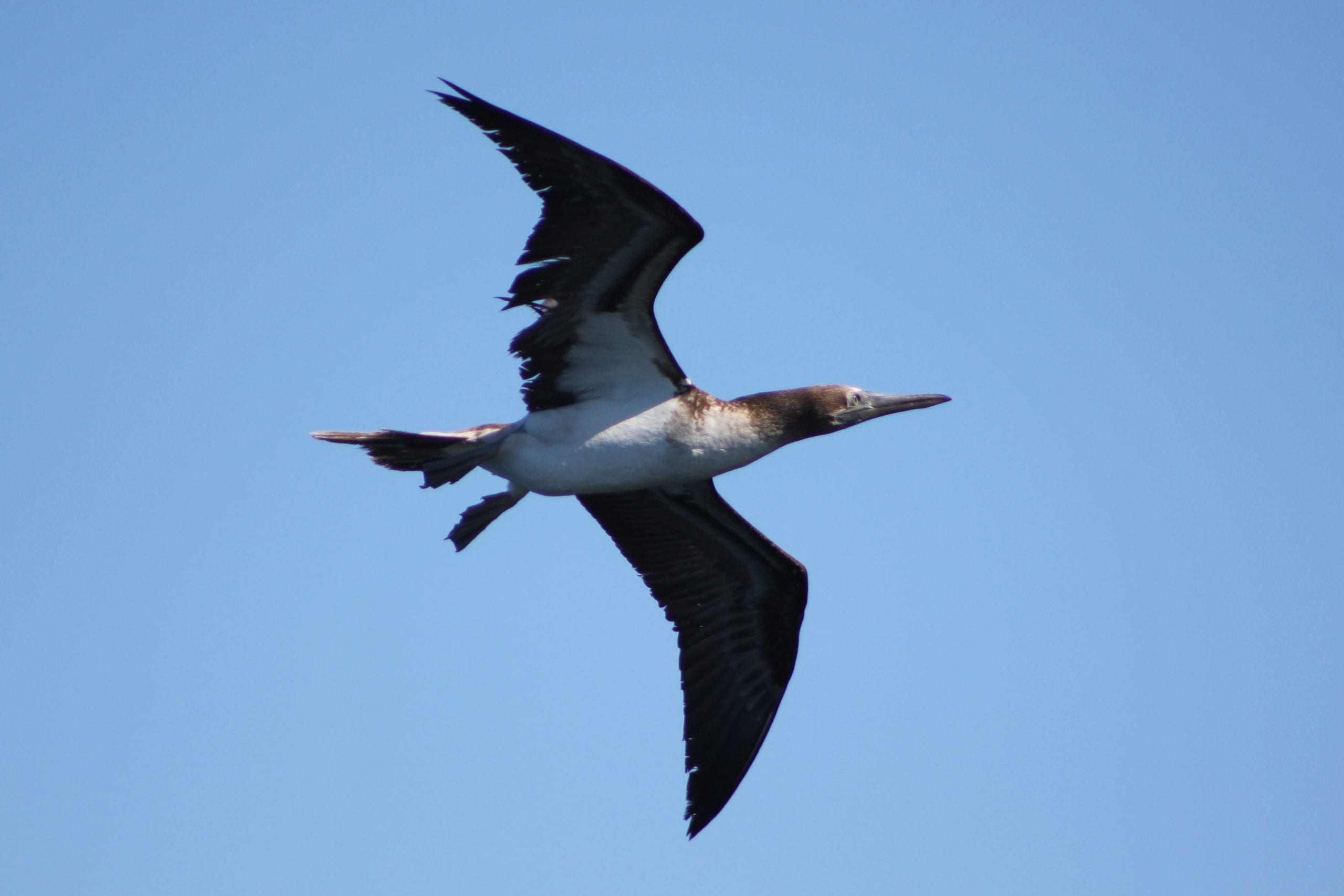 blue footed boobie flying in the sky