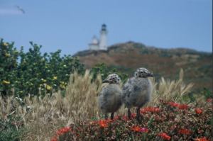 baby seagulls on the channel islands