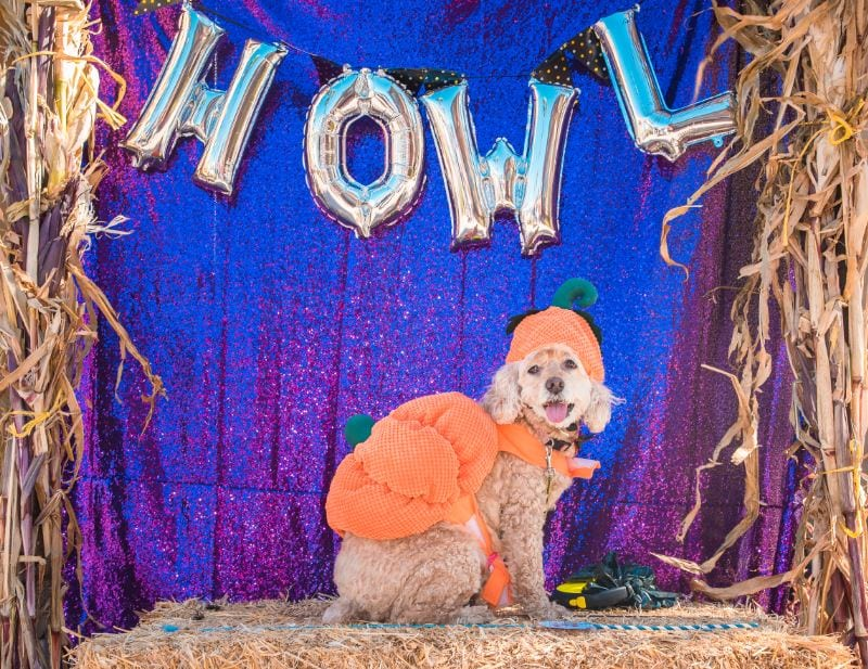 howl o ween dog costume contest