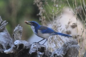 Island ScrubJay sitting on a rock near water