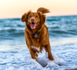 dog running in the ocean