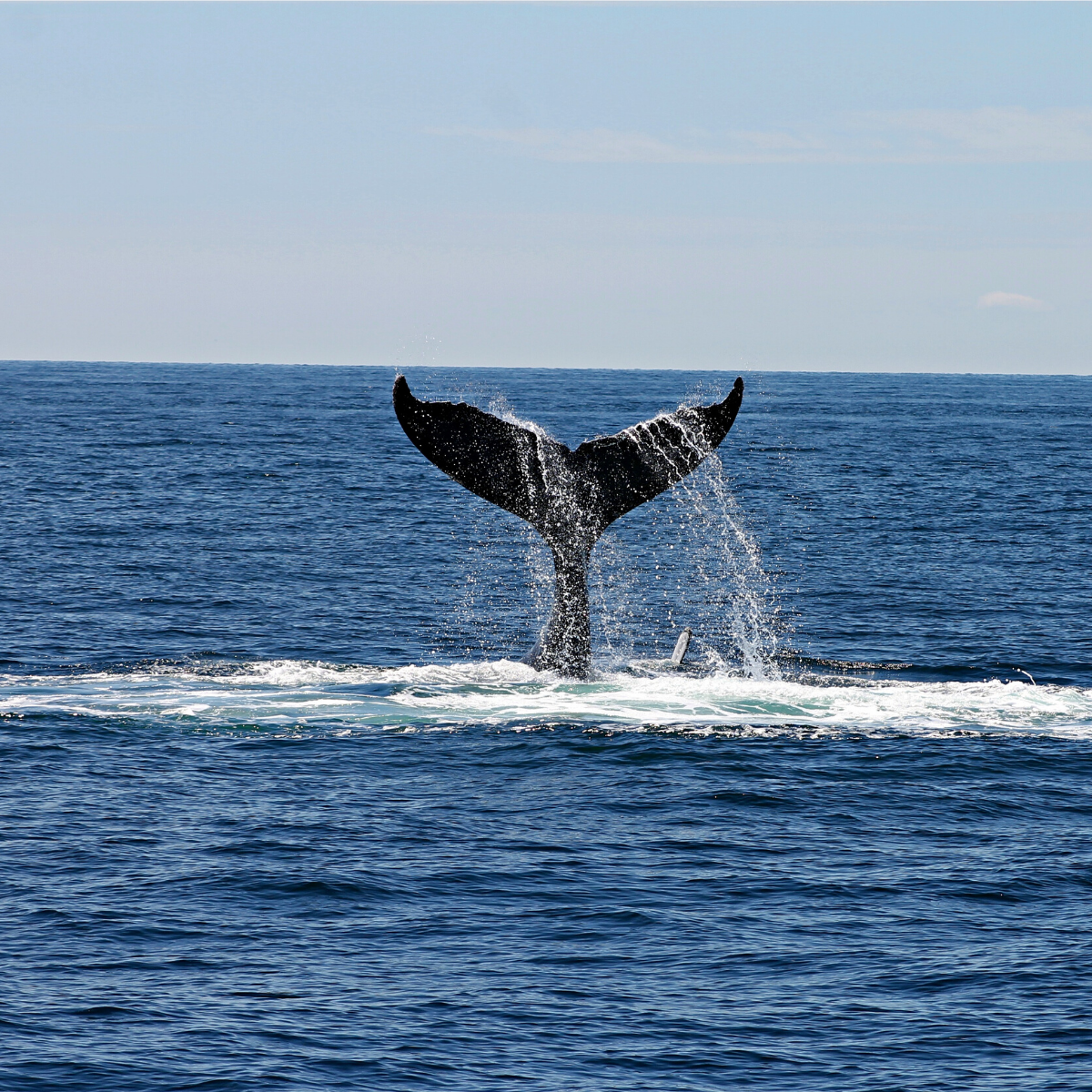 Whale Watching with Ventura Sportfishing